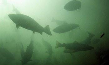 Salmonicultores tendrán dos años para retirar sus desechos inorgánicos