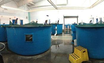 Alimento para salmones: bacteria podría reemplazar proteínas obtenidas de pesca pelágica