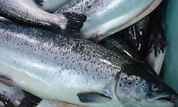 Chile: Cosecha de salmones crece 14,9% a octubre de 2018