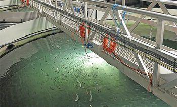 FDA aprueba consumo de salmón genéticamente modificado