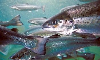 Buscan que pescadores artesanales puedan capturar salmón todo el año