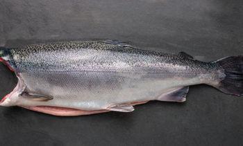Algae-fed coho salmon hits shelves