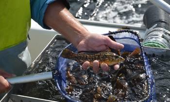 Økte leppefiskkvoter
