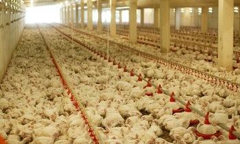 Kylling slår oppdrettslaks i ny fôrutnyttelses-analyse