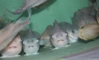Newfoundland to hold second cleaner fish conference