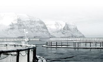 Frost-bitten: Cold and storms blamed for Icelandic salmon farmer's £3.7m losses