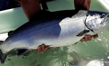 Los Lagos: Salmón coho aportó el 7,4% de las cosechas de peces en febrero de 2018