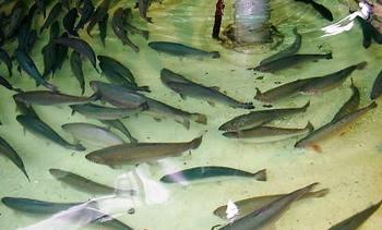 Biobio: Presentan proyecto de cultivo de ciclo completo de salmón en tierra