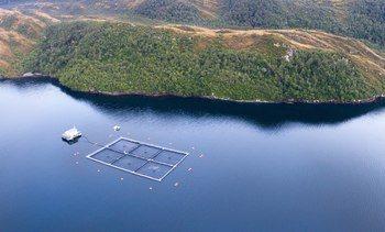 Informe sanitario: Aumenta prevalencia de Caligus en Magallanes