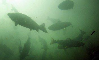 Subpesca detalla normativa vigente para recaptura de peces escapados