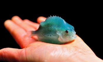 Atlantic Canada gets clued up on cleaner fish