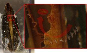 Lovende forskningsresultater med blåskjell mot lakselus