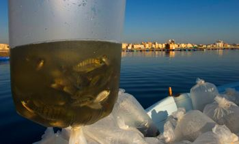 Genomic selection boosts tilapia production 'by 10% per generation'