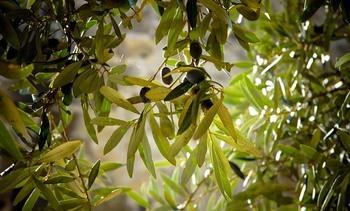 Trabajan con extracto de olivo para mejorar salud de salmones