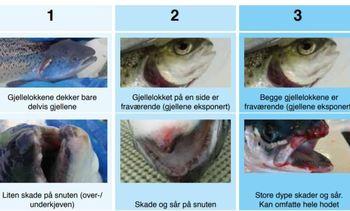 Traducirán a inglés exitoso manual noruego sobre bienestar de peces