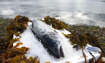 Precio del salmón noruego exhibe alza de 0,4% en una semana