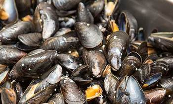 Mussels delivering early warning of algal blooms