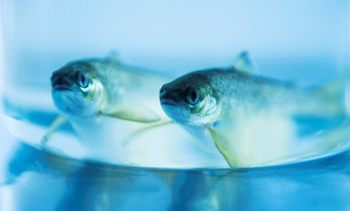 Cermaq finds the 'perfect speed' for smolts