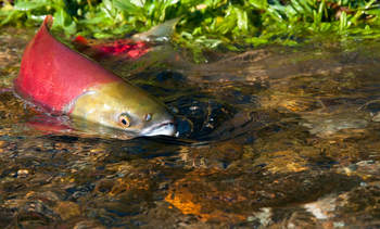 PRV has minimal threat to wild salmon in Canada