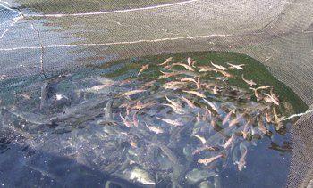 Villfisk «flytter inn» til oppdrettslaks