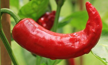 Hot stuff: chilli shown to improve growth in trout
