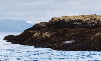 Protective nets reduce Scottish Sea Farms seal cull
