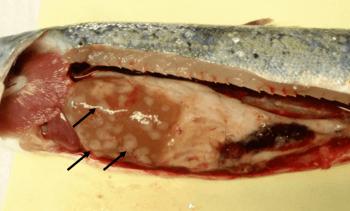 Veterinærinstituttet: Mykobakteriose hos laksefisk