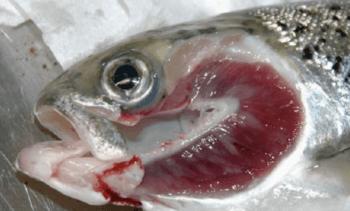 Fiskevelferd under behandling av atlantisk laks med AGD