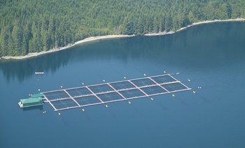 Cardiorespiratory fitness of farmed salmon unaffected by PRV