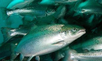 Aprueban tramitación de iniciativa que permite pesca de salmón