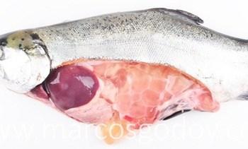 Caracterizan los quistes lipídicos en salmón coho