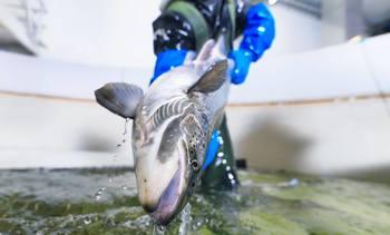Biosikkerhet i stamfiskproduksjonen: - En forutsetning for bærekraftig lakseproduksjon