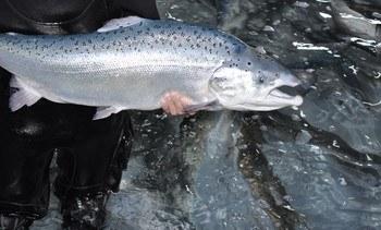 Globefish lanza nuevo reporte del mercado global de salmón