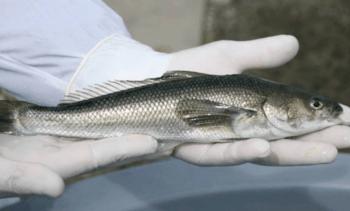 Caligus de peces silvestres serían susceptibles a antiparasitarios