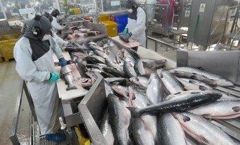 Altos pesos de cosecha incrementan productividad del salmón chileno