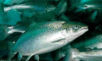 Russian farmed salmonid volume up by 8% in Q1