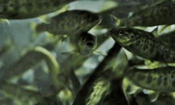 Productores de salmón chileno proyectan crecimiento de 18% en siembras