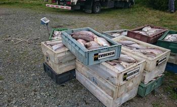 Detienen a dos hombres por robar camión cargado con salmones