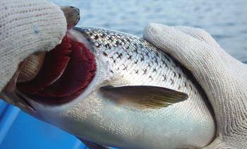 Llaman a científicos a presentar trabajos sobre salud branquial del salmón