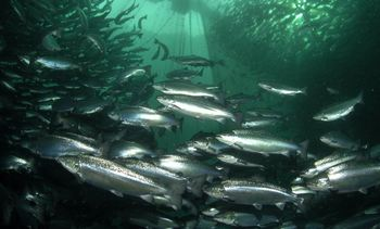 Study: Sterile salmon fared better if put to sea in spring