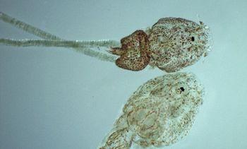 Chilenos determinan nuevos antecedentes sobre proceso reproductivo de Caligus
