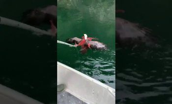 Eagle saved from octopus in B.C. waters