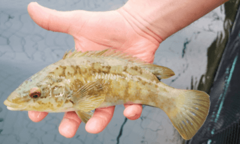 Wrasse catch figures show sustainability commitment