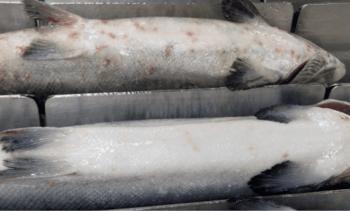 Cargill expone efectos de sistemas mecánicos antiparasitarios en salud de peces