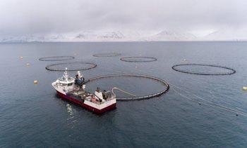 Islandia: Bajas temperaturas causan mortalidad de 500 toneladas de salmón