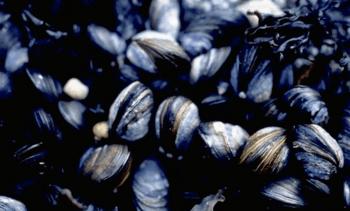 Kronikk: Lavtrofisk havbruk – kilde til nye fôringredienser?