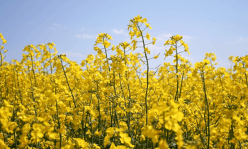 Canada approves Nuseed's GM canola for aquafeed