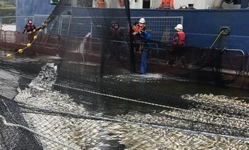 Quellón: Microalga tóxica causa mortalidad de 861 mil salmones
