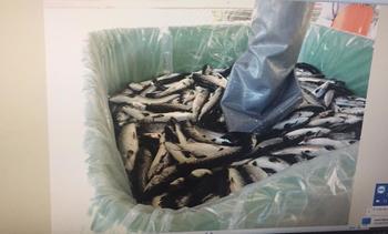 Chile: Eliminan 1,1 millones de smolts de salmón tras detección de virus ISA