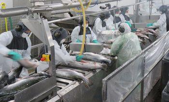 Salmones Aysén abre oferta laboral con más de 700 cupos disponibles